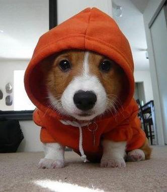 chien-habille